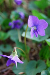 Whitman Woods Blue Violet